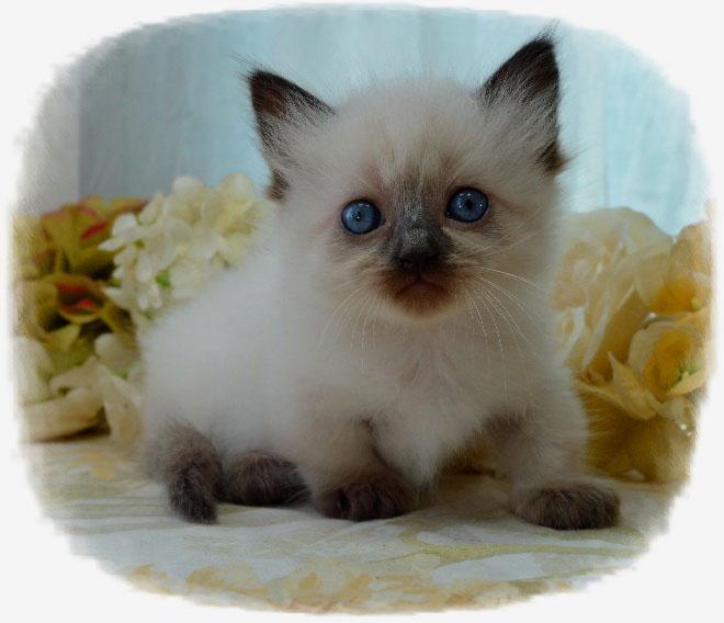 Iowa persian cat breeders